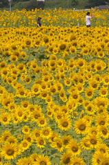 どこまでも続くひまわり畑、遅ればせながら夏らしい一コマです♪