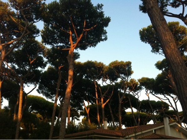 Nostalgic feelings by pine trees in evening sun #rome2000