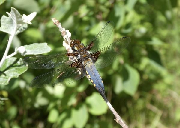 veel libelles gezien, deze was wel erg mooi #buienradar
