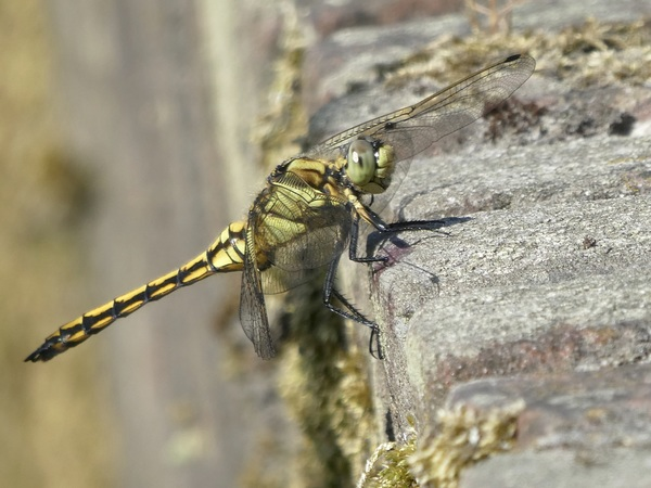 in de hete namiddagzon op een stenen muurtje is het goed toeven voor deze libelle #buienradar