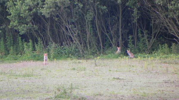 prachtig weer vanmorgen , vonden deze drie vossen ook bij Hoek van Holland #buienradar