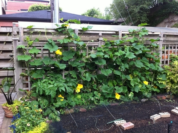 My garden: squash blossoms are in full production!