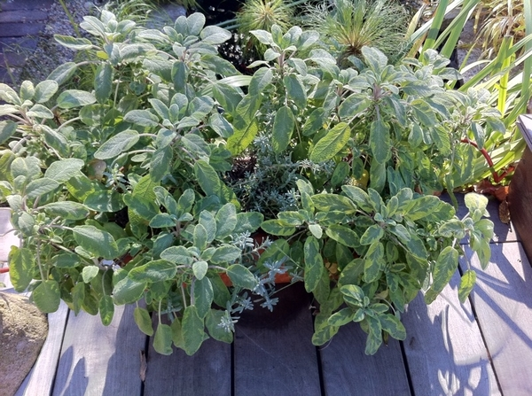 Gorgeous fall day here in Chicago.Most plants already in greenhouse.This variegated sage still going strong tho