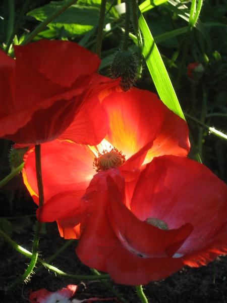 "Eén zonnestraal op een ""zomerse"" klaproos #buienradar"