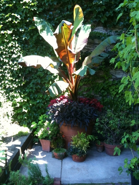And my banana tree ( bought at 4 feet a month ago), has reached ten feet (and growing)