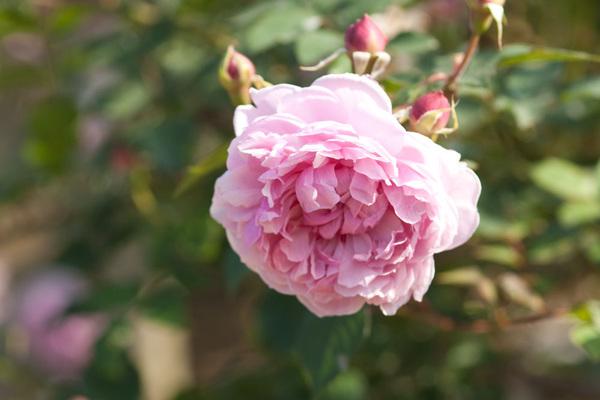 ERシスターエリザベス ピンクの花弁にボタンアイがいいな~ 欲しいバラ候補w #rose #flower