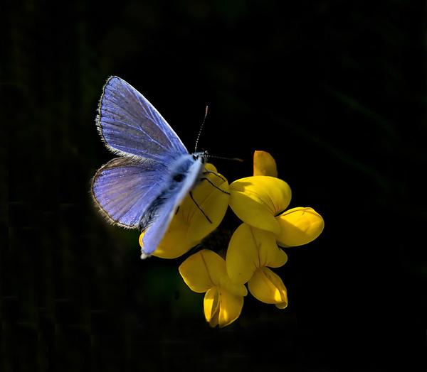 Het Icarus blauwtje op de gele rolklaver. Dit kan je toch wel zomers noemen. #buienradar