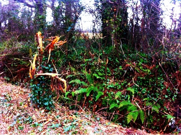 Backroad Devastation in the Hedgerows (Injured Old Man)