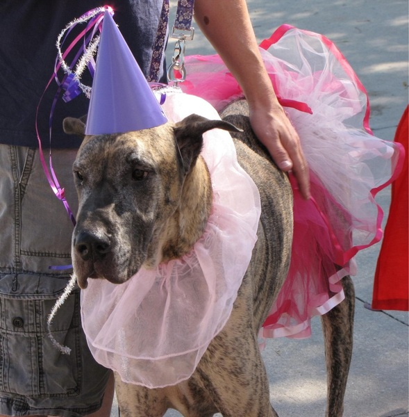 Oh Bruuuutus!  @brutusthedane I found you a girlfriend at my daycare's costume contest!