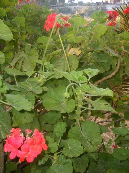 Los geranios zonales (Pelargonium zonale)