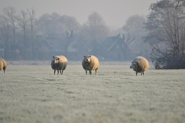 Barneveldse schapen in een een winters landschap. Barneveld 30-12-2016 #buienradar