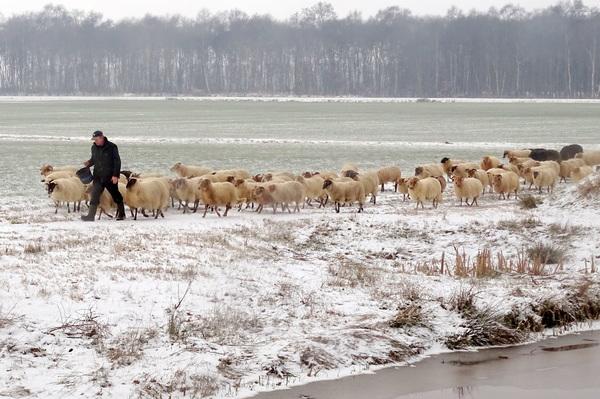 De schaapherder brengt zijn schaapjes op het droge!   #buienradar