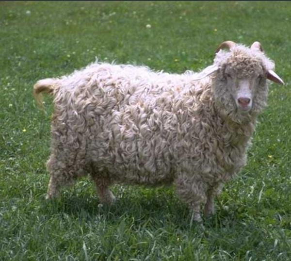 @Ohmydirection_ C'est pas déjà fait ? On parle bien de ce mouton là ?