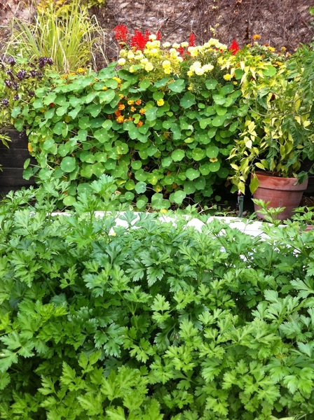 Beautiful fall day in my garden. Flat leaf parsley, nasturtiums and marigolds are SO full!