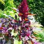 Every year in my backyard I have volunteer elephant head amaranth that grows to 7-8 feet tall!
