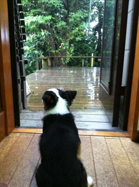 今日は雨だったから出かけられず…チッちゃんとお留守番の一日でした。明日はプールに行くんだー♪(´ε` )