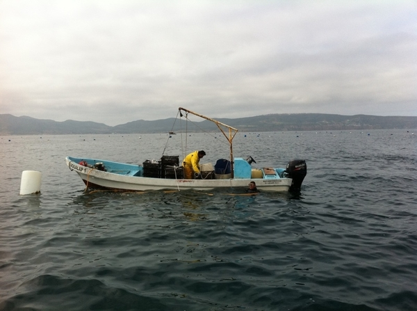Out in the bay of Ensenada w Juan Carlos (& 2 chefs) collecting oysters, clams & mussels at his aquaculture farm.