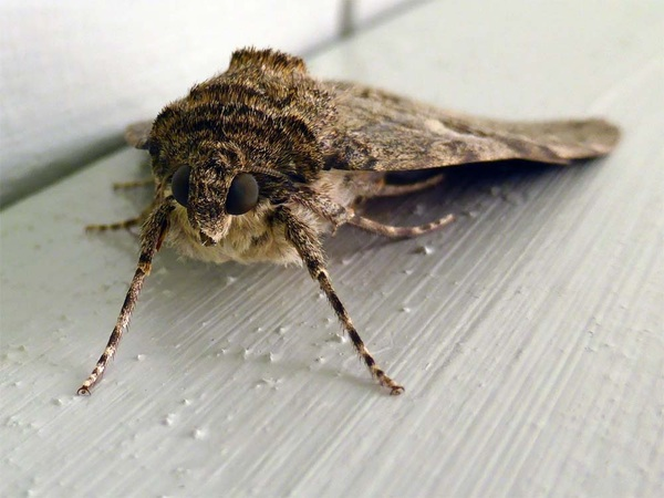 #Uil #mot #nachtvlinder #vlinder #natuur #nachtuil