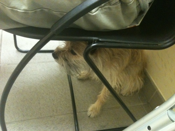 Chewie hiding at the vet's office, he is under Eddy's chair