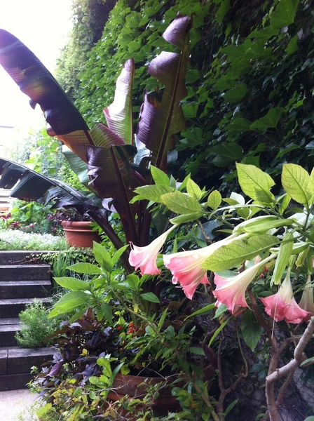 My garden: this little corner of my Chgo garden looks like it belongs in Mexico! Brugamansia, banana
