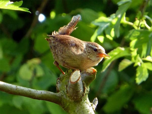 Drukteschopper! #vogel #winterkoninkje #natuur