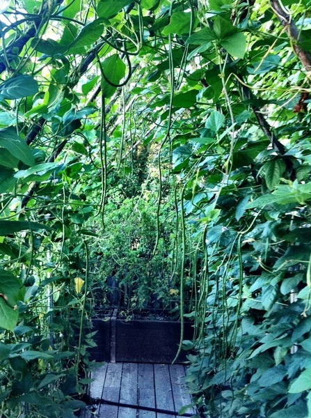 i'm so in luv w/ ths arch of Chinese long beans that grows outside my bdrm window. Must have 300 beans on it