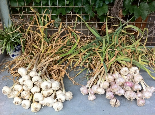 Mr garden: fresh dug garlic ready to be hung for curing.
