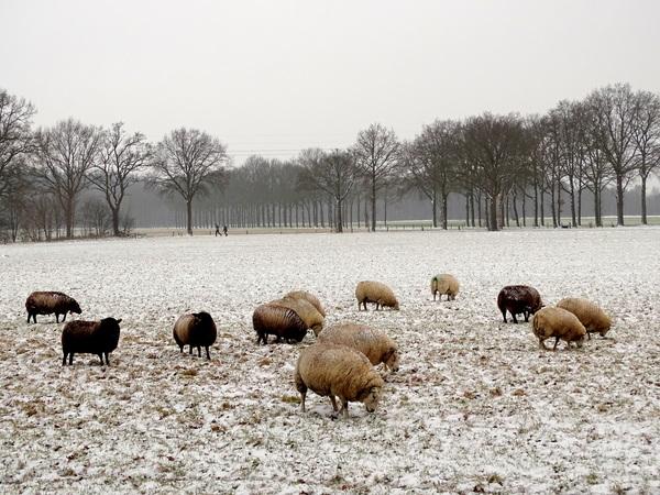 Met hun warme wollen jas aan hebben de schapen geen last van de kou! Wierdenseveld, Twente!  #buienradar