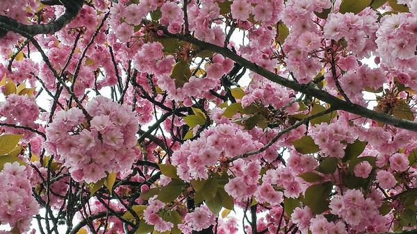 De roze bloesem zorgt voor kleur op deze grijze zaterdag #buienradar