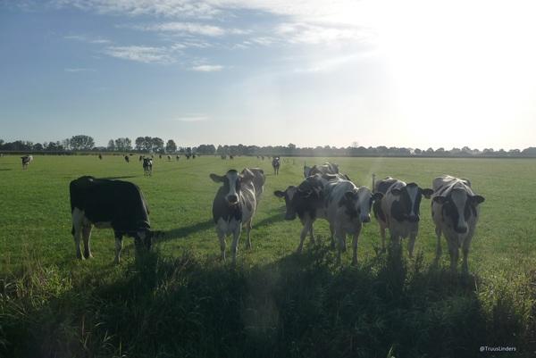 op een mooie zondag ochtend koeien genieten van de zon  #buienradar
