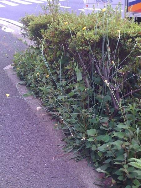 通常より茎を伸ばして咲いているタンポポ。場所は横浜市都筑区。連投中です。 #nuclear #genpatsu #dandelion