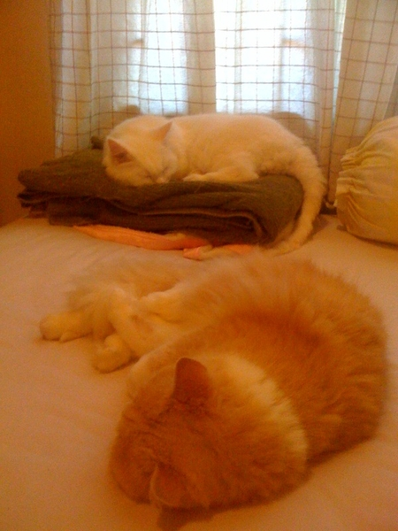 シーザーのお昼寝定位置のタオルケット上をサクラが力ずくで占拠w